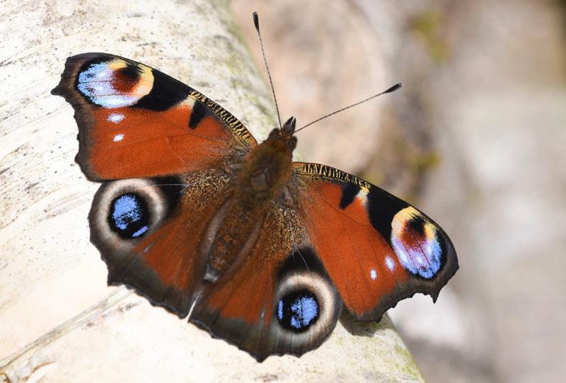 birch tree peacock butterfly
