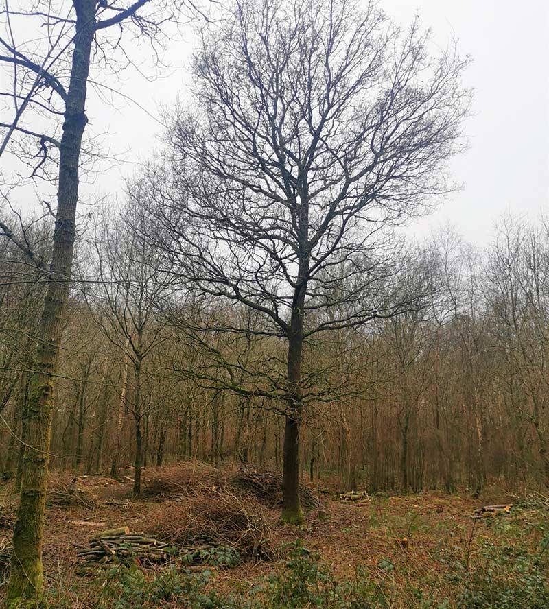 oak tree in sussex