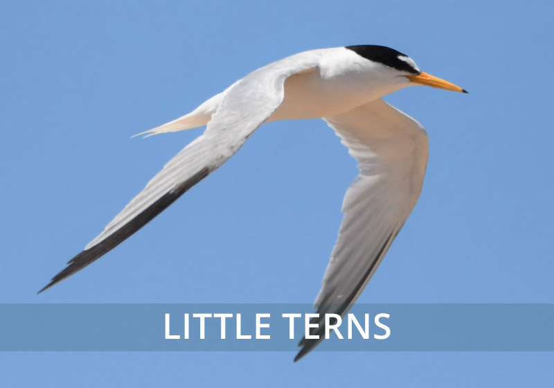 photos of little terns