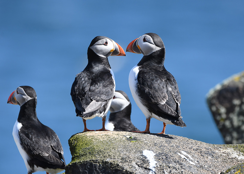 Puffins in the UK by Tim Squire