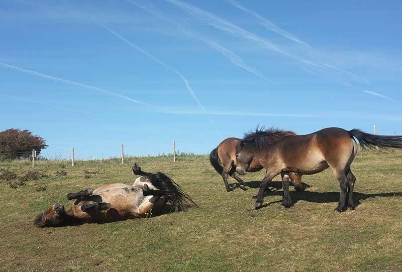 sussex wild ponies